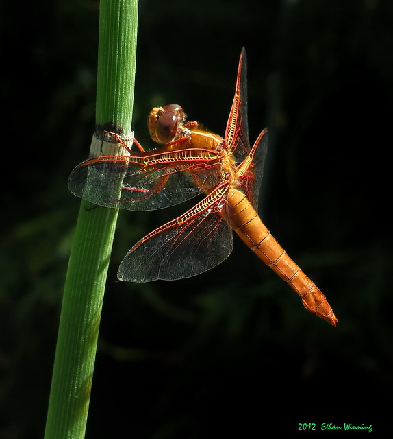 Flame Skimmer on Horsetail (Marsh) Grass