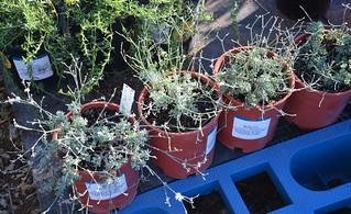 Eriogonum wrightii var. subscaposum - Prostrate Bastardsage