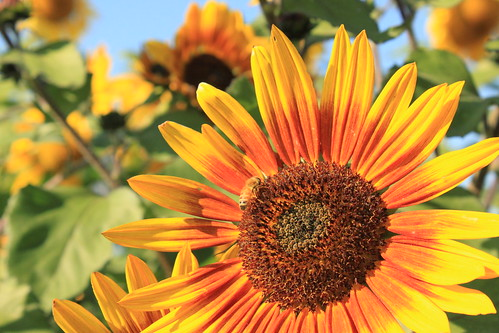 Sunflower at Spina Farms California | by gabepopa