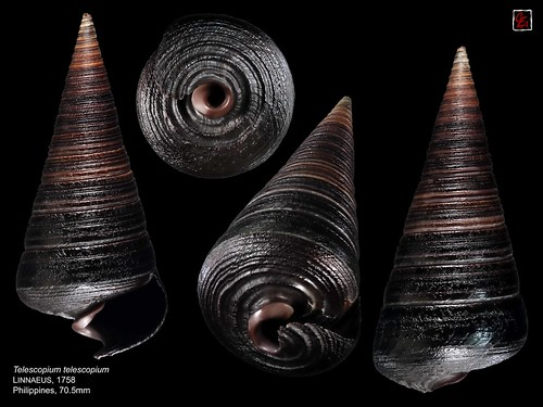 telescopium telescopium philippines 70mm5 | by MALACOLLECTION Landshells Freshwater Gastropods