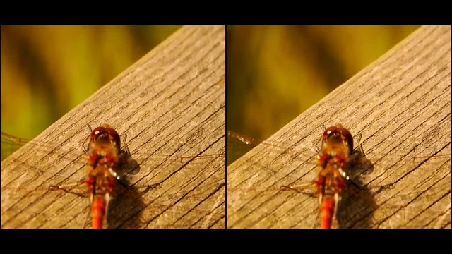 Common Darter - 3d movie clip - parallel view