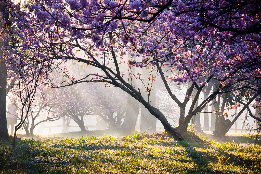 Bosque das Cerejeiras