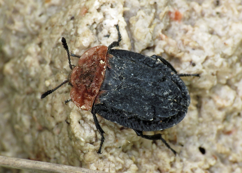 Red-breasted Carrion Beetle - Oiceoptoma thoracicum