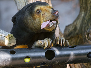 Hungry sun bear with tongue out | by Tambako the Jaguar