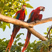 Parrots - Photo (c) Tim Sackton, some rights reserved (CC BY-SA)