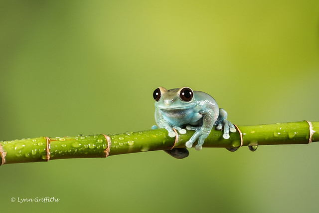 Ruby-eyed Tree Frog D50_7989.jpg