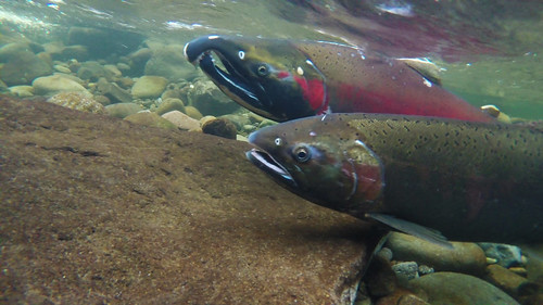 My Public Lands Roadtrip: Counting Fish in the Salmon River in Oregon | by mypubliclands