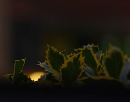light brussels wild plant macro tree leave nature plante europe belgium belgique lumière bruxelles holly panasonic dxo brussel arbre hdr schaarbeek schaerbeek feuille belgïe houx fz200 pascalfranche pfranche