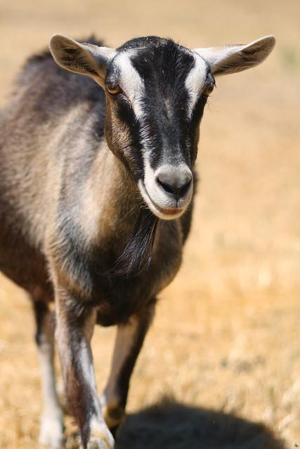Buckley Goat