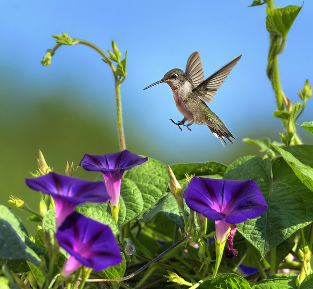 Hummingbird and Morning Glory_DSC1545