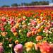 The Flower Fields by ModernDayGilligan