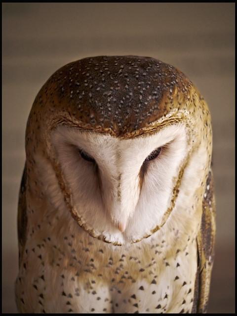 AZ-SO Owl #1