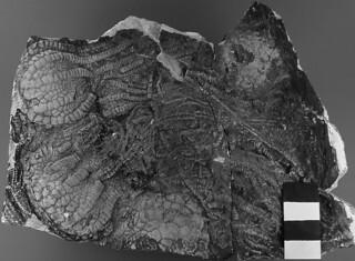 Uintacrinus socialis (fossil crinoids in chalk) (Niobrara Formation, Upper Cretaceous; western Kansas, USA) 2