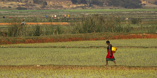Working in the ricefields - Madagascar highlands_MG_1433 | by fveronesi1