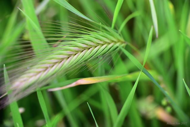 Spring - Wild Grasses