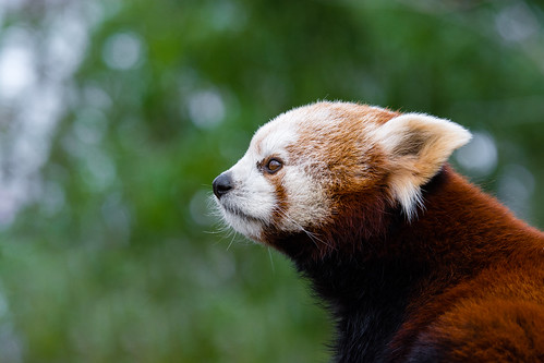 Red Panda | by Mathias Appel