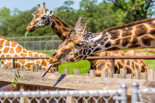 Giraffe Feeding | by Born Coqui