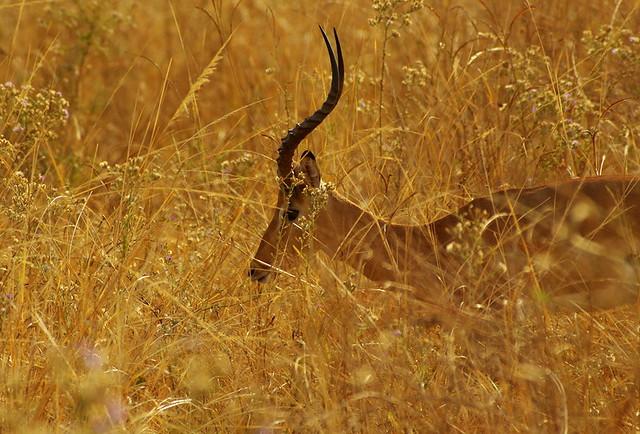 Impala hiding from predators - Zambia K__37009