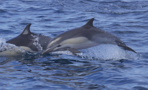 """Short-beaked Common Dolphin (Delphinus delphis)   by Gregory """"Slobirdr"""" Smith"""