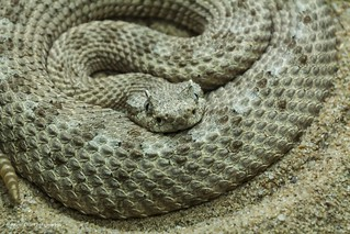 Sidewinder Rattle Snake | by Kool Cats Photography over 15 Million Views