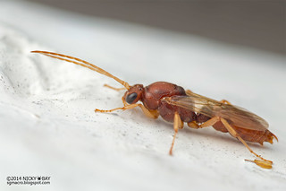 Winged Ant (Ponerini) - DSC_2794