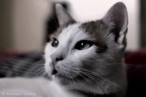 Ciccio il gatto   by AntoninoT