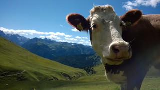 Cow on Alpe di Siusi | by smerikal