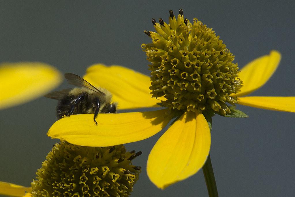 Bee on Yellow Flower 3