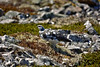 Ptarmigan (Lagopus mutus) by andrewmckie