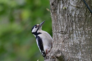 Great-spotted Woodpecker (Dendrocopus major) | by Brian Carruthers-Dublin-Eire
