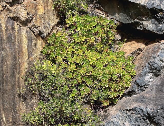 Aeonium decorum; Crassulaceae (4)