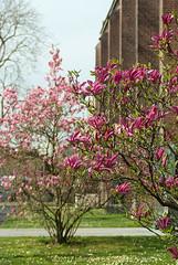 Magnolias near the church
