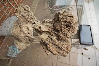 Syringopora (coral), Mississippian Monteagle limestone, White County, Tennessee