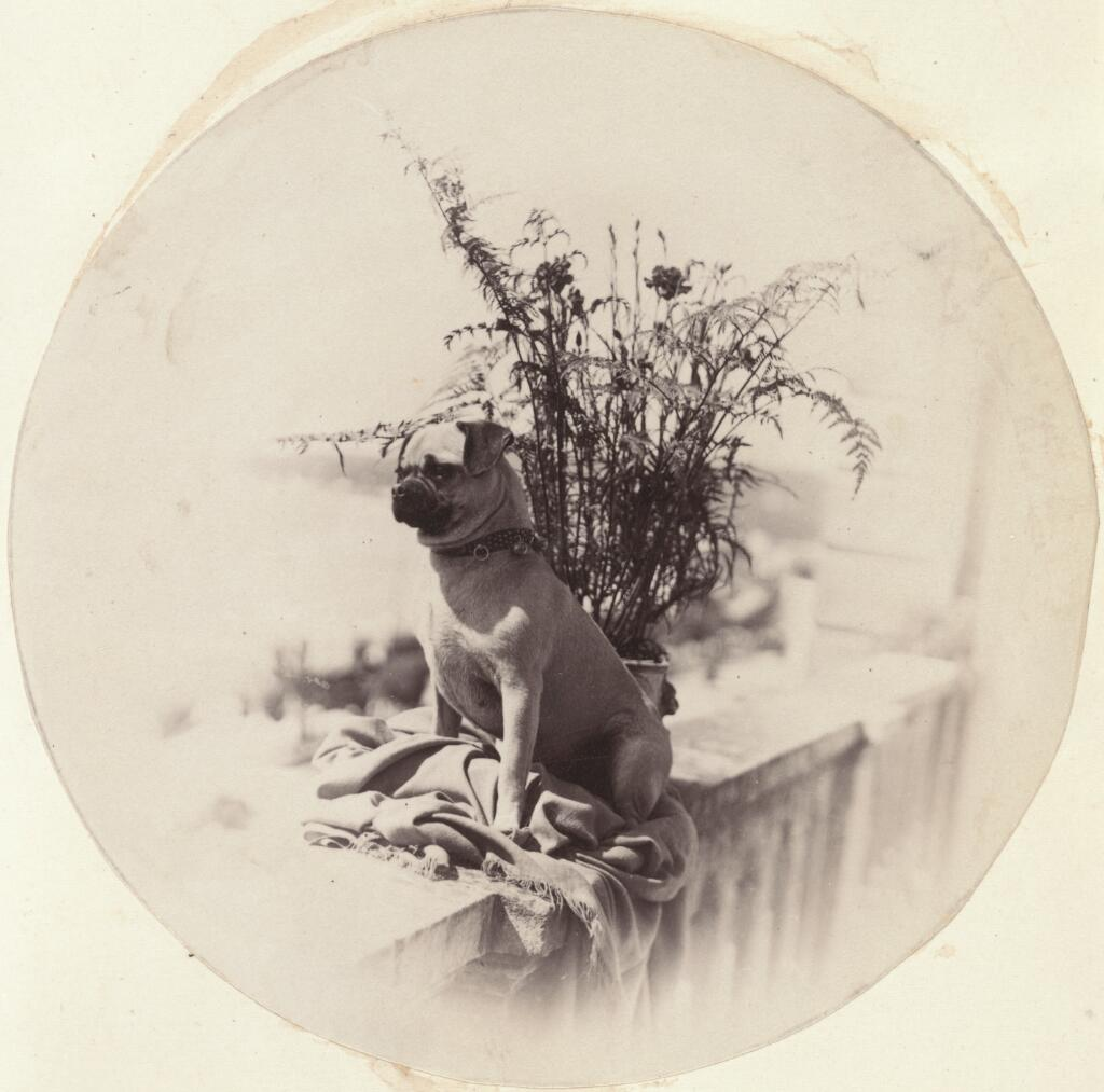 Vigilance, pug dog sitting on a balcony / J. Chester Jervis