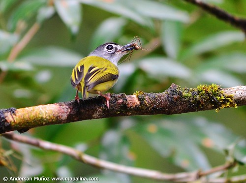 Myiornis atricapillus  Black-capped pygmy-tyrant  (Tiranuelo colimocho) | by mapalinabirdingtrails