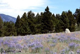 Montana Elkhorn Purple Flowers 4_feistyharriet_July 2014   by FeistyHarriet