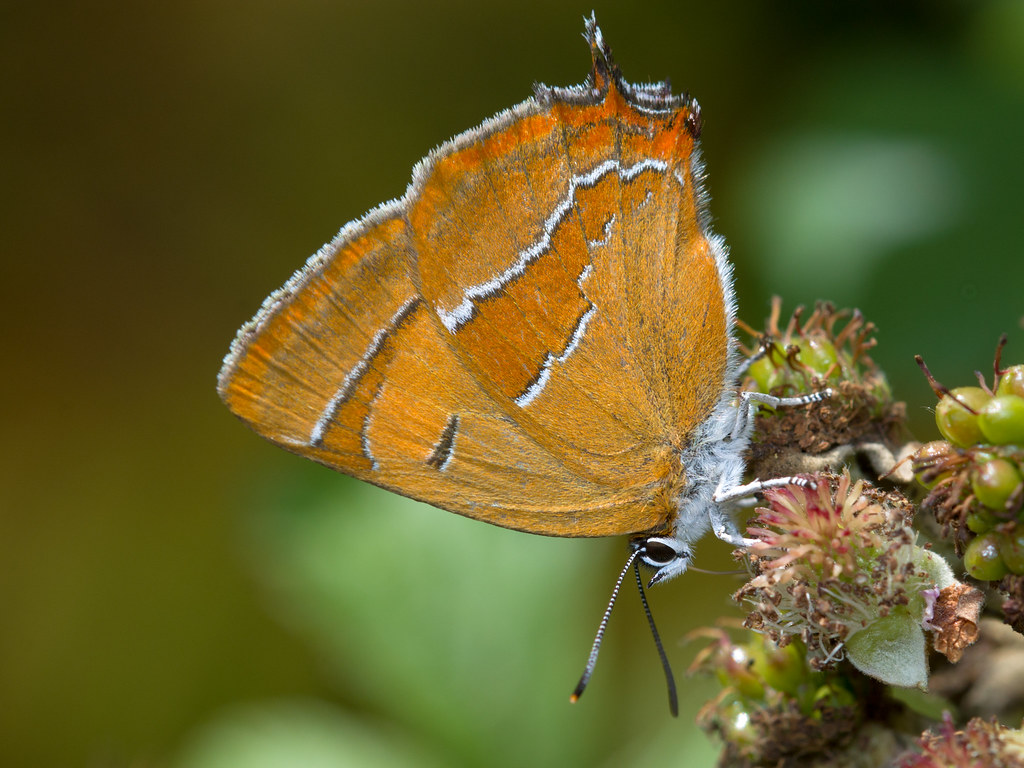 Thecla betulae (Brown hairstreak) / female