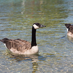 Goose, Little Tub Harbor