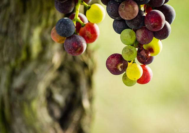 Grappe de raisin à Bordeaux