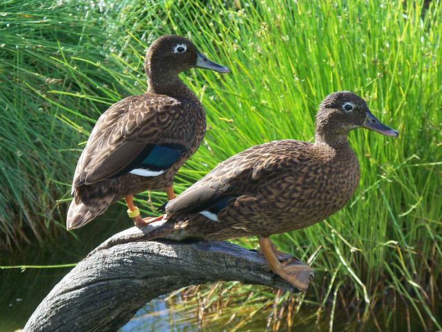Laysan Duck pair on Eastern Island on Midway Atoll