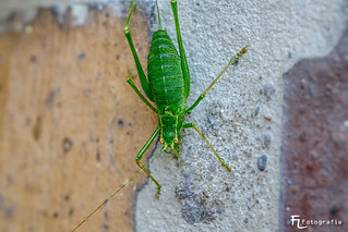 Grasshopper on the wall | by Silbersurfer