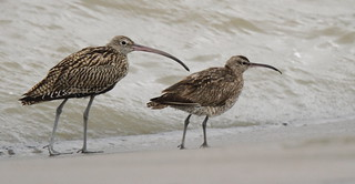 Eastern Curlew+Whimbrel | by Thomas.Gut