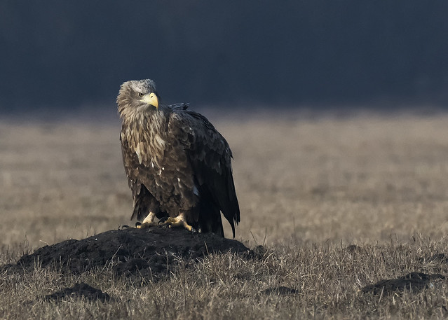 Aquila di mare - White tailed eagle