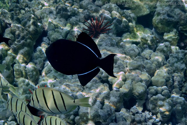 black triggerfish: Melichthys niger, with convict tang: Acanthurus triostegus