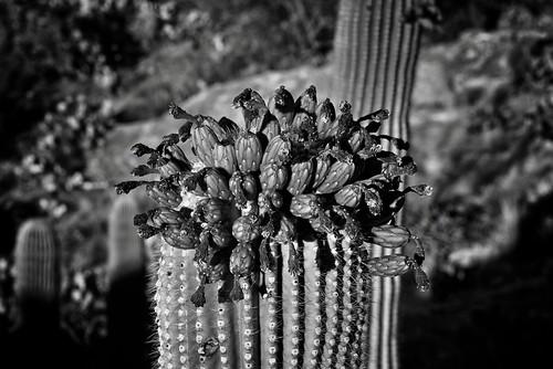 nikond800e saguaronationalpark saguaronationalparkrinconmountaindistricteast lookingse day1 capturenx2edited colorefexpro silverefexpro2 blackwhite desert desertlandscape sonorandesert saguaro cactus carnegieagigantea saguarocactus outside landscape nature cactusacrossdesertlandscape desertplantlife cactusforestscenicloopdrive cactusforestdrive javelinarocks javelinarocksarea arborescenttreelikecactus cactusflowers topofsaguarocactus project365 arizona unitedstates
