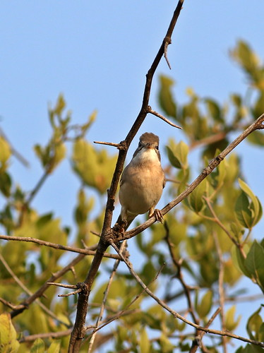 Common whitethroat, Sylvia communis at Zaagkuildrift Road near Kgomo Kgomo, Limpopo, South Africa | by Derek Keats