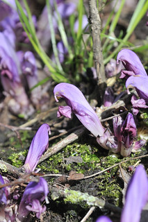 Purple Toothwort | by markhows