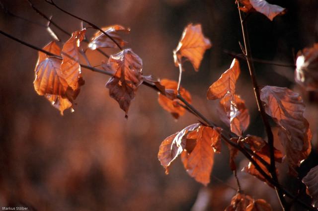 brown leaves in golden light