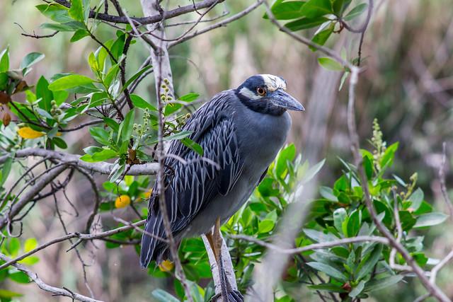 Bird at Bird Rd (yellow crowned night heron)