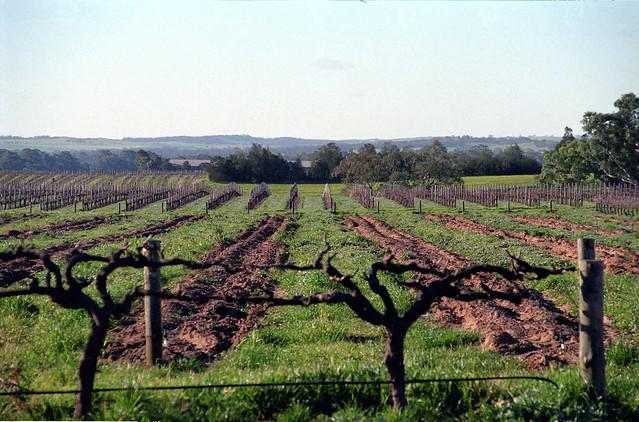 Angaston SA Vineyard
